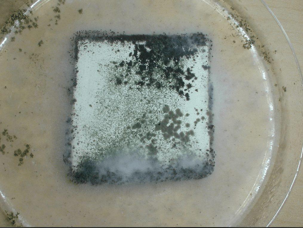 competitor mildew sample
